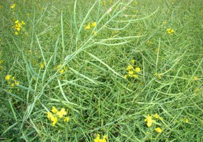 Средняя цена на семена рапса в России в июле 2021 г. составила 44,2 тыс. руб./тонна
